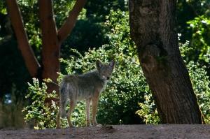 Arkenstone Coyote